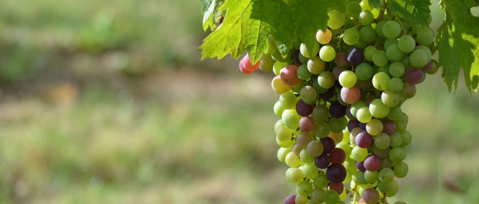 Veraison of the Merlot first week of August 2014